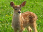 Title: Fawn