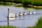 Title: Mute swan family