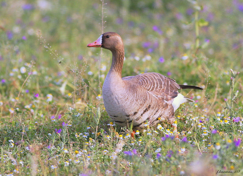 fronted goose