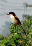 Title: Long tailed shrike (Tricolor race).