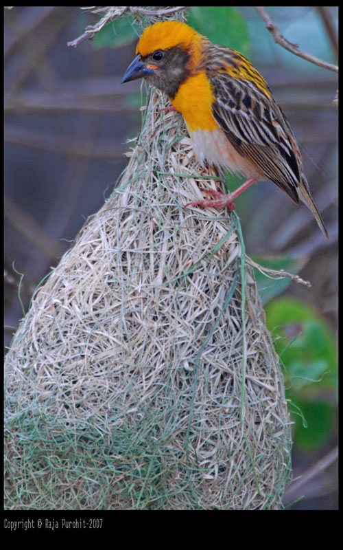 Baya Weaver Male With Nest