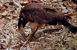 Title: Crested Serpent Eagle With Catch