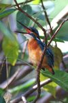 Title: Common Kingfisher