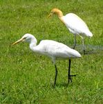 Title: White & Cattle Egret...