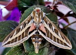 Title: white-lined sphinx moth