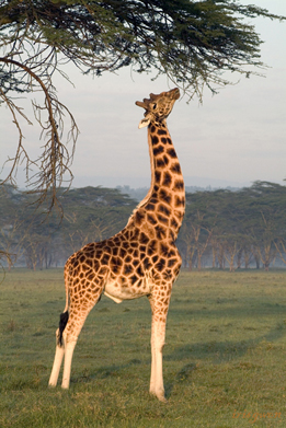The greedy moment of the young giraffe