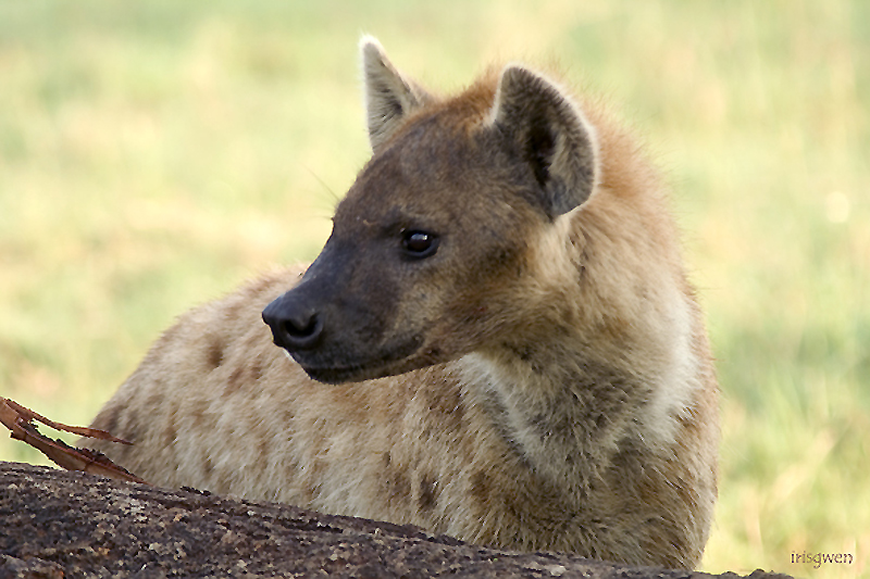 the hyena's look out