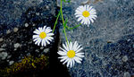 Title: Daisies