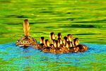 Title: Duck Family