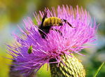 Title: Thistle flower, bee and green bug