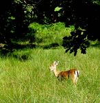 Title: Hind of Fallow Deer