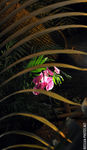Title: Pink orchid