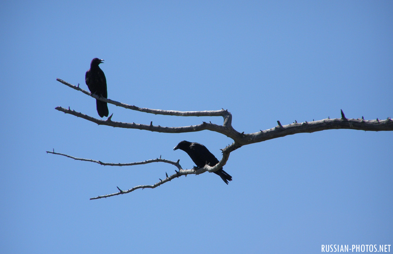 2 crows on the tree