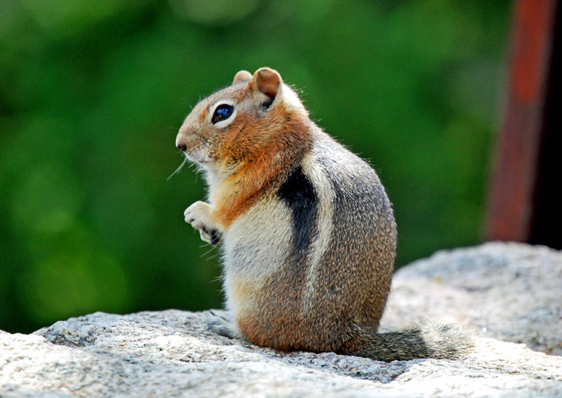 This Chipmunk is High!