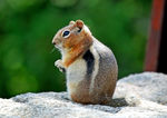 Title: This Chipmunk is High!