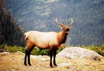Title: Elk in the Rockies
