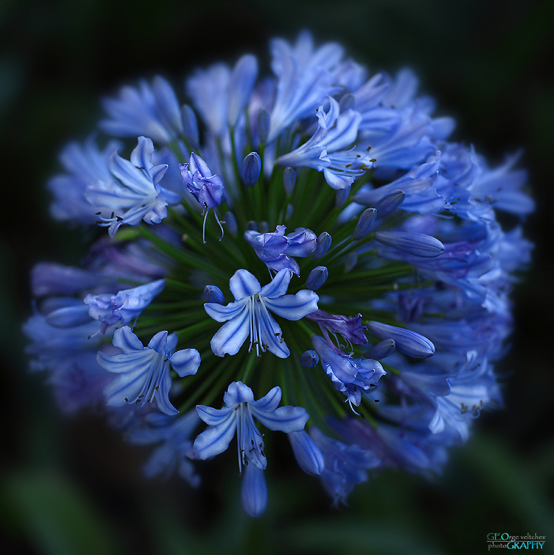 african blue lily
