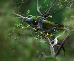 Title: African Green Pigeon