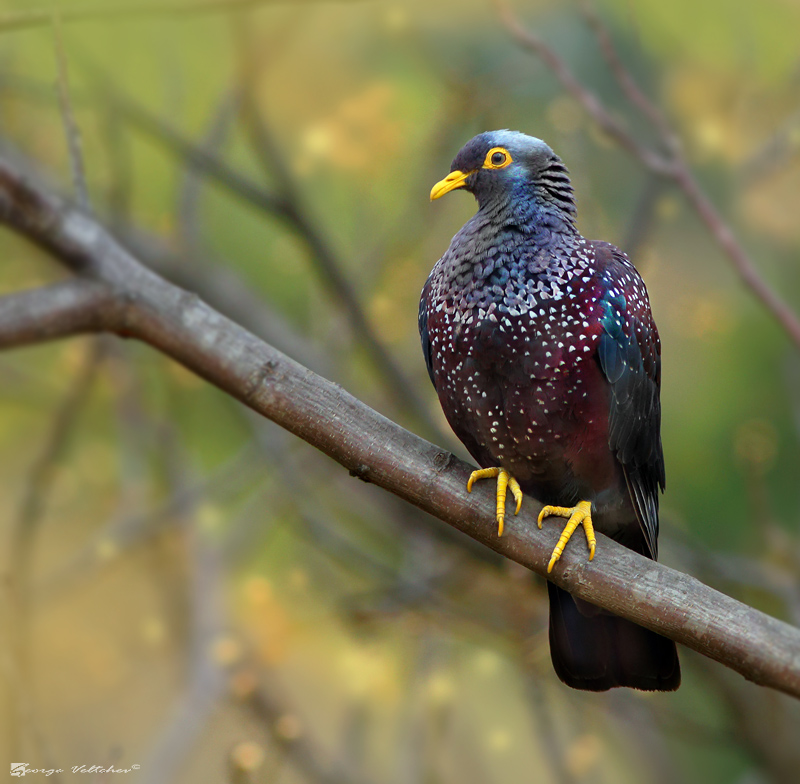 African Olive Pigeon I