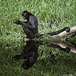 Title: Black Spider Monkey