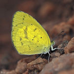 Title: Broad bordered grass yellow II