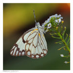 Title: Brown-veined White