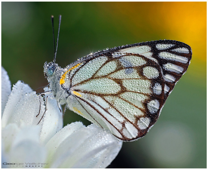 Brown-vented white II