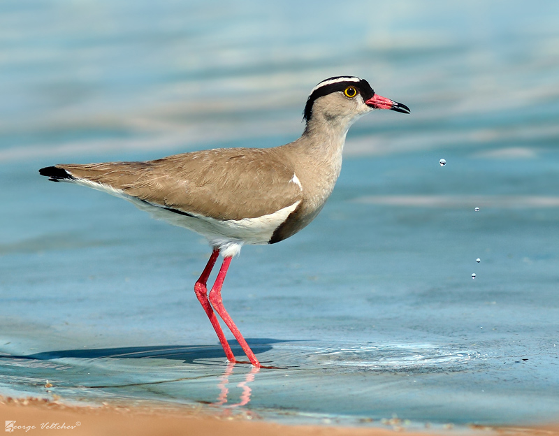 Crowned Lapwing II