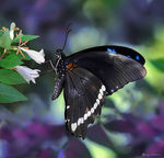 Title: green banded swallowtail 3