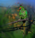 Title: Rose-ringed Parakeet (Female)