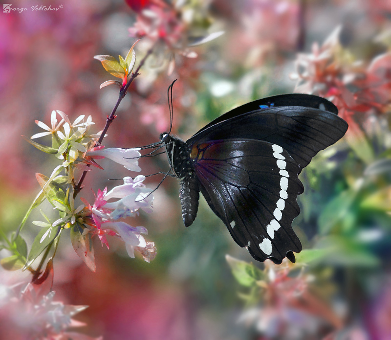green banded swallowtail 3