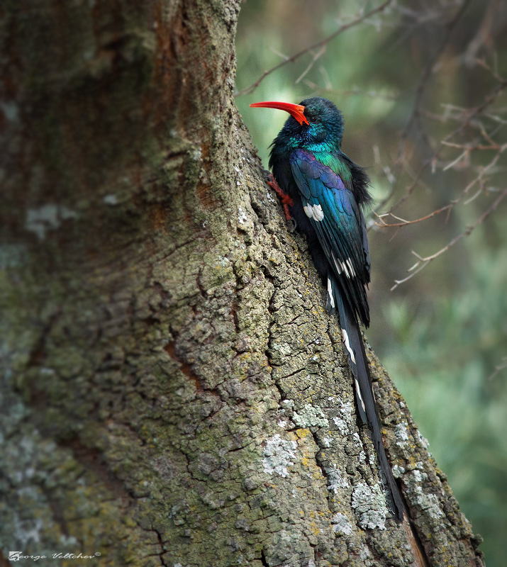 Woodworking Forum South Africa: Green Wood Hoopoe Photo