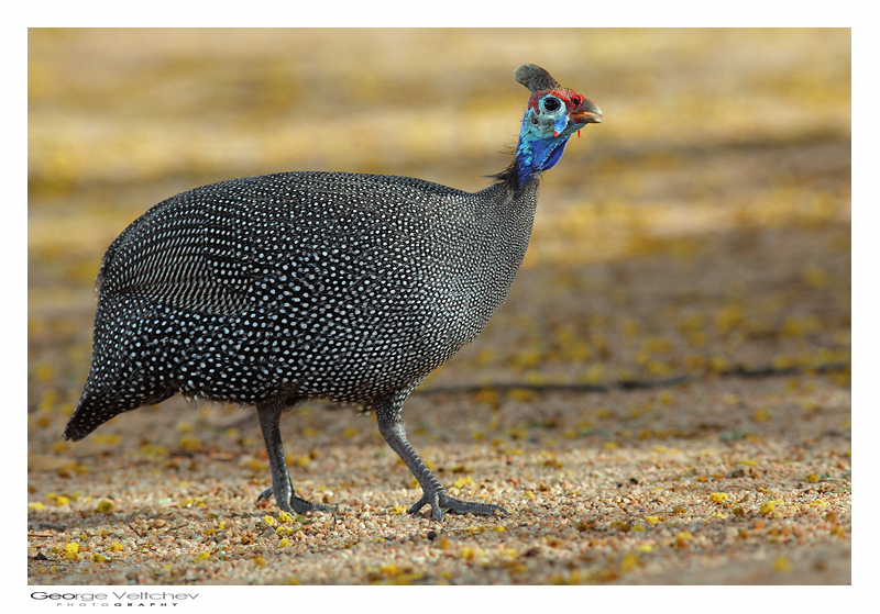 helmeted guinea fowls essay Woburn safari park is home to a large flock of helmeted guinea fowl, you will certainly hear these noisy birds before you see them find them free roaming in the foot safari area.