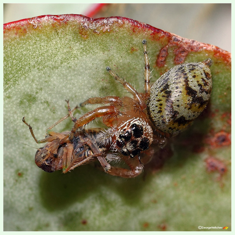 Jumping spider and a cricket