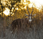Title: blesbok country