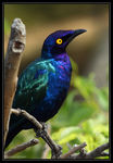 Title: Greater blue eared glossy starling