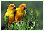 Title: Sun Conure - Love torrent.....