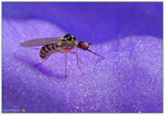 Title: Dance fly - Empididae