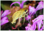 Title: Common Hottentot Skipper