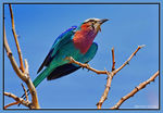 Title: Lilac-breasted Roller