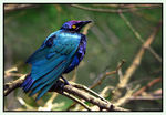 Title: Greater Blue-eared Glossy Starling