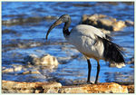 Title: African Sacred Ibis
