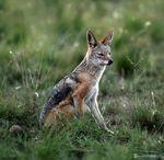 Title: my 400th post - a Jackal