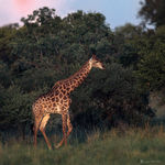 Title: Giraffe at North West