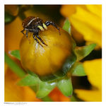 Title: Jumping Spider on a hunt