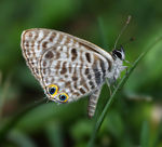 Title: Leptotes pirithous 2 Camera: Canon 5D MKII