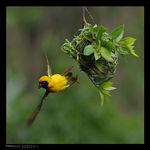 Title: Masked Weaver  and nest