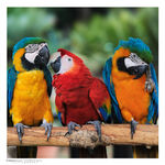 Title: Macaw Parrots - Love Triangle