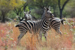 Title: playing zebras