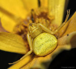 Title: Yellow crab spider
